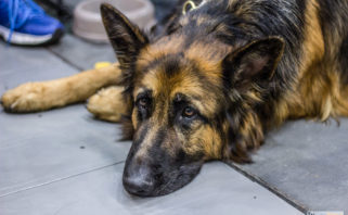 German Shepherd at Dog Show, photo: Jakub Wozniak/Tricity News