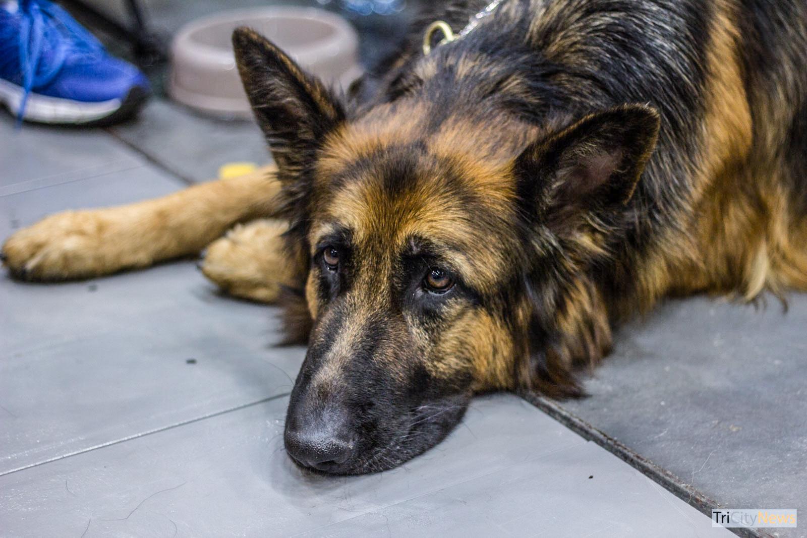 German Shepherd at Dog Show, photo: Jakub Wozniak/Tricity News